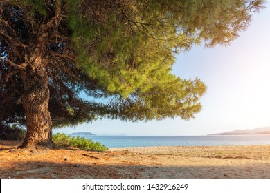 Pine tree at the beach with sun. Beautiful summer landscape