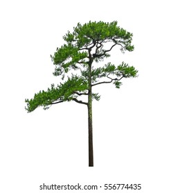 Pine tree beautiful shape isolated on white background.
