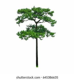 Pine tree beautiful shape isolated on white background.