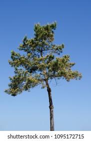 pine tree (bent, at the coast)