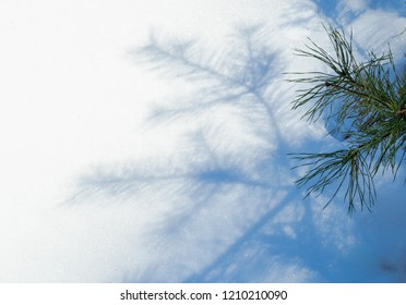 pine tree blue shadow on white snow background in winter. christmas and new year with copy space
