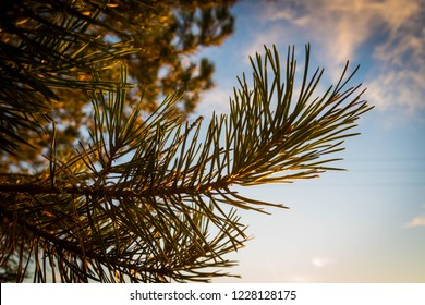 Pine tree branch up close during the sunset