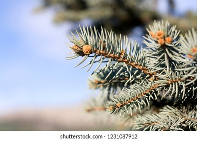 Pine tree branch. Close-up, selective focus.