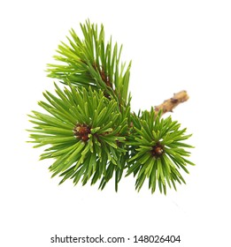 Pine tree branch isolated on white.