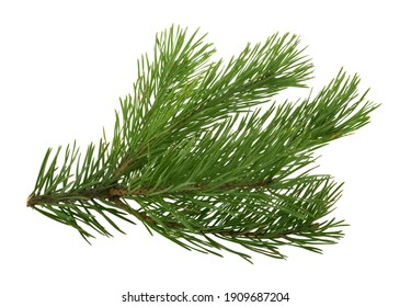 pine tree branch isolated on white background without shadow