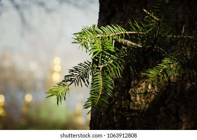 A pine tree branch on a tree with blurred church background