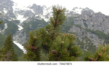 Pine tree branch on blurred mountains background