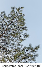 Pine tree branches against clear blue sky. Natural background.
