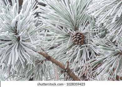 Pine tree branches covered with hoarfrost or snow. Pine tree cone in winter