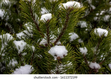 Pine tree branches covered with snow, nature winter background. Winter landscape. Snow covered trees. Frozen twigs closeup. Selective focus.