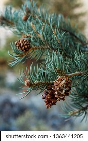 pine tree branches, needles, pine cone details growing in Sierra Nevada mountains of California