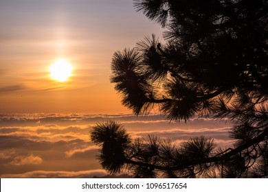 Pine tree branches on top of Mt Hamilton, San Jose, south San Francisco bay area; beautiful sunset over a sea of clouds in the background