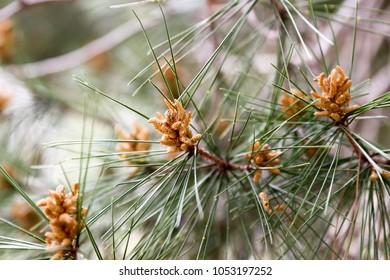 Pine tree branches in park area in Jibia, Palestine.