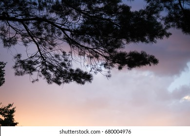 Pine tree branches silhouetted before colorful sunset clouds in Massachusetts USA