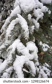 Pine tree branches with snow