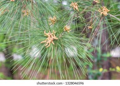Pine Tree Pollen Images, Stock Photos & Vectors | Shutterstock