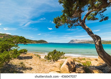 pine tree by the sea in Capo Coda Cavallo, Sardinia