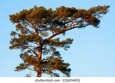Pine tree canopy against blue sky in evening sunshine.