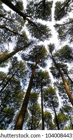 Pine tree canopy in Central Java, Indonesia. Low angle view of tree canopy.