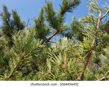 Pine tree close up on a sunny blue sky day at the Mijendel park near The Hague, Netherlands, March 26,2018