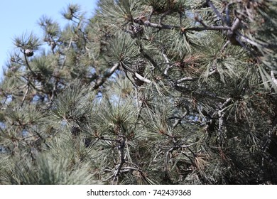 Pine Tree with Pine Cones