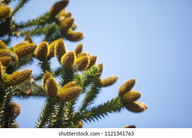 Pine tree with cones on blue sky background. Nature abstract background