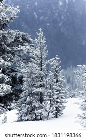 Pine tree covered by pure snow