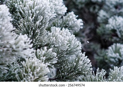 Pine tree covered with snow.