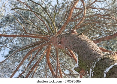 pine tree covered with snow, view from below. snow edge.