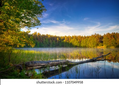 Pine tree cut by the beaver lies in the water. Spring landscape. Masuria, Poland.