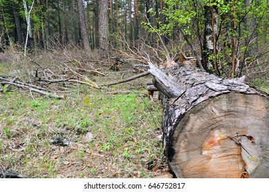 The pine tree was cut down. Left in the woods. Mismanagement.