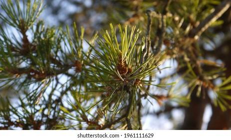 Pine tree details, summer 2020