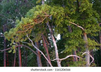 Pine tree in evening sunlight