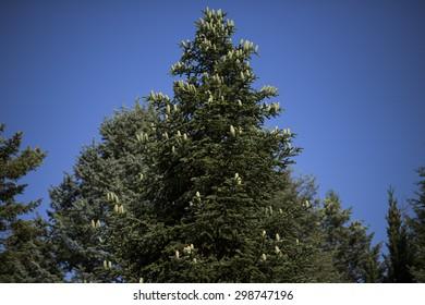 Pine tree with fir cone