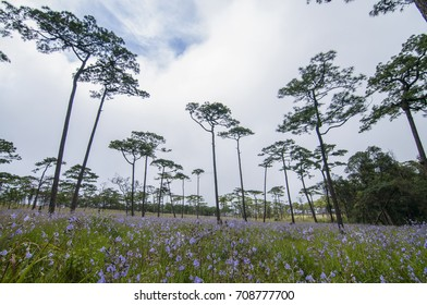 Pine tree and flower field at camping point, Phu Soi Dao National Park, Thailand.