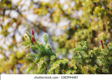 Pine tree flowers. Pine Cone Buds Blooming In The Spring, nature background, selective focus