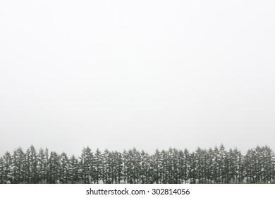 Pine tree in foggy