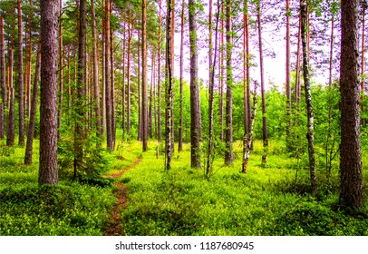 Pine tree forest background. Green pine tree forest view. Pine tree forest scene. Forest pine trees background