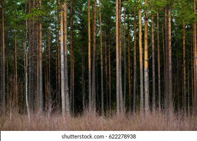 pine tree forest background. many powerful stems of conifer trees. southern sweden, smaland nature.