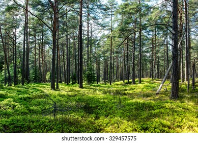 Pine tree forest with blueberry field