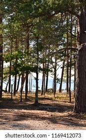 Pine tree forest by the coast of the swedish island Oland in the Baltic Sea