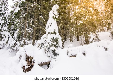 The pine tree in a forest covered with abundant snow after a snowfall in the Asiago Alps (Italy). Typical natural landscape during the alpine winter.