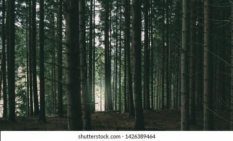 pine tree forest, dark woods natural landscape