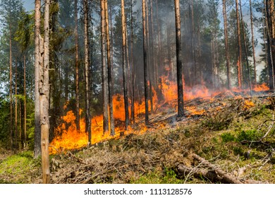 Pine tree forest fire burning, Wildfire close up at day time