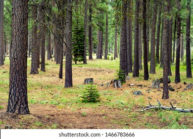 A Pine tree forest in a grass meadow near Sisters, Oregon