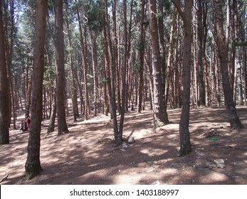 Pine tree forest in Kodaikanal