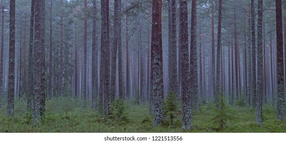 Pine tree forest landscape in late autumn