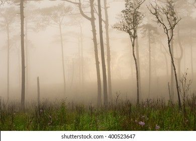 pine tree forest in the mist at Phu Soi Dao national park Uttaradit province Thailand