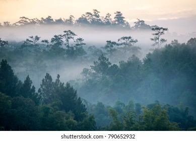 Pine tree forest in mountain covered with fog and sunlight