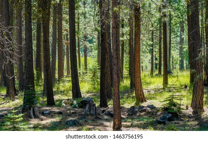 A pine tree forest near Sisters, Oregon
